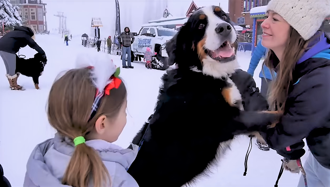 video Bernese Mountain dogs playing with children