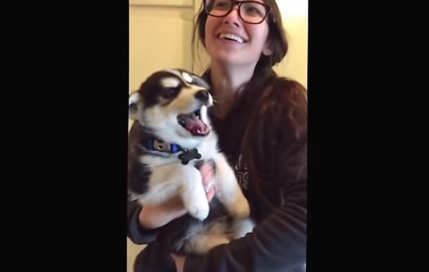 video Husky puppy talks like human