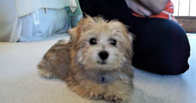 video Morkie puppy playing with family