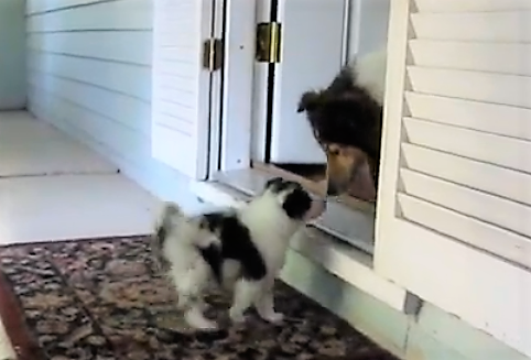 video Sheltie puppy playing