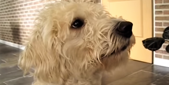 video labradoodle learns to whisper