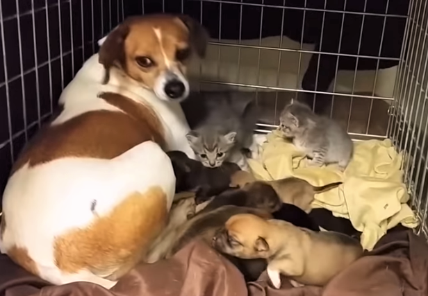 video mama dog fostering kittens