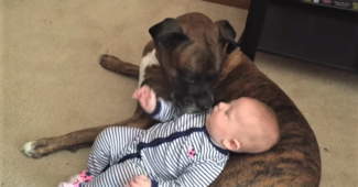 video Boxer caring for baby