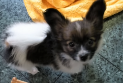 video Papillon puppy playing with family
