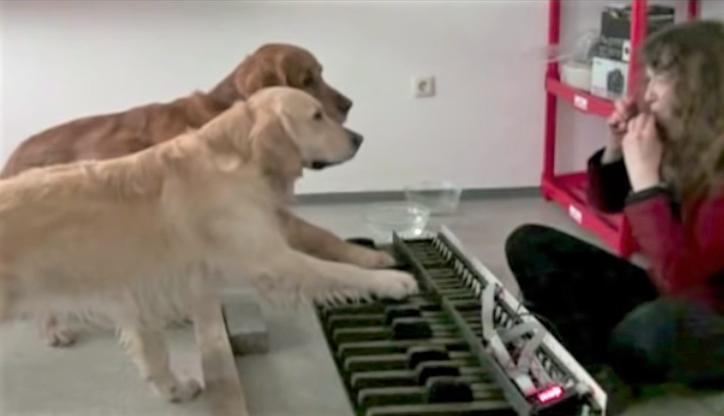 Retrievers playing keyboard perfectly