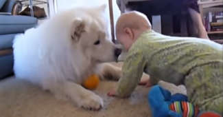video Samoyeds playing with children