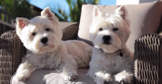 video Westies enjoying morning sun