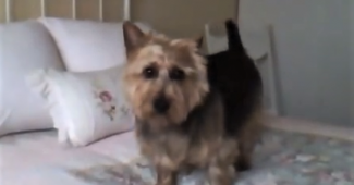 video nap time ritual of this Australian Terrier