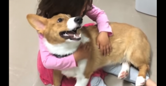 video Corgi rushes to comfort crying friend