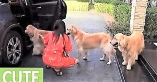 video Golden Retrievers wait in line to get in car