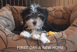 video Havanese puppy first day home