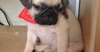 video Pug puppy fighting sleep