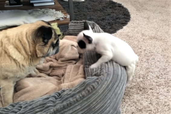 video Puppy trying to befriend Pug