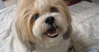 video Shichon puppy learning new tricks