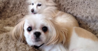 video Shih Tzu snoring wakes up Pomeranian