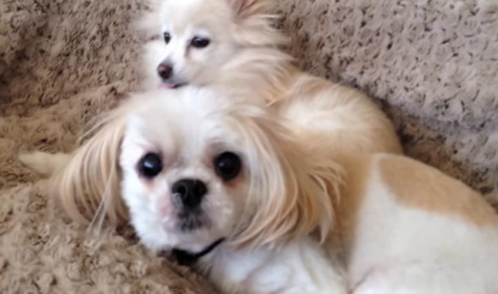 video Shih Tzu snoring wakes up Pomeranian