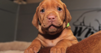 video Vizsla puppy growing up