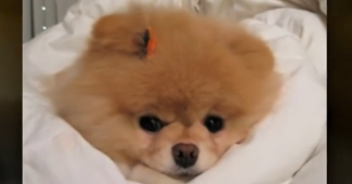 video BOO the Pomeranian