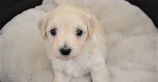 video Maltese Dachshund puppy waking up