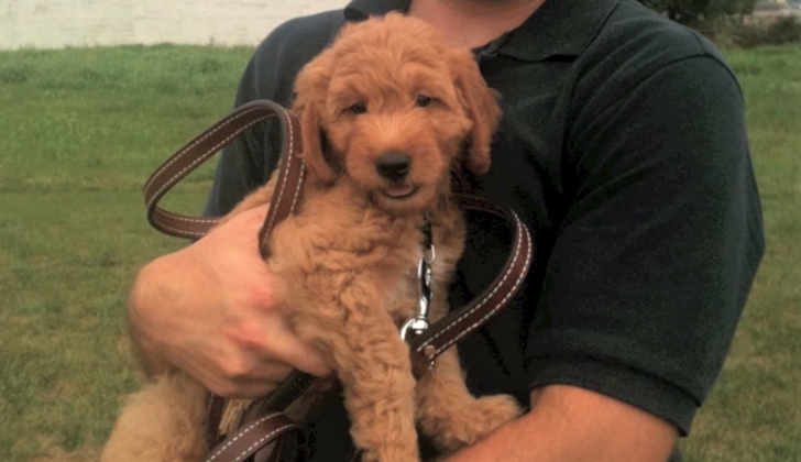 Miniature Goldendoodle growing up video