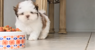 video Shih Tzu puppy eating from a big bowl