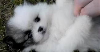 video Tiny Pomeranian playing