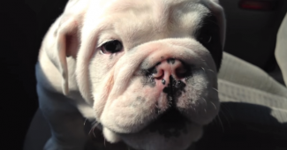 video Bulldog Bentley loves to talk