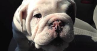 video Bulldog Bentley loves to talk