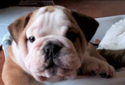 video Bulldog puppy snorting