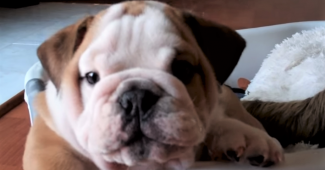 video Bulldog puppy snorting