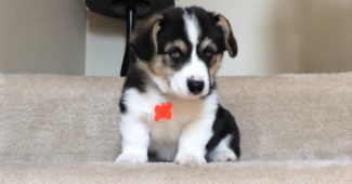 video Corgi puppy learning to use the stairs