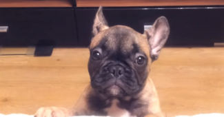 video French Bulldog puppy talks a lot