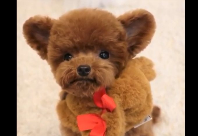 video teddy bear dog Shu