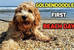 video goldendoodle first day at beach