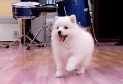 video Japanese Spitz puppy playing