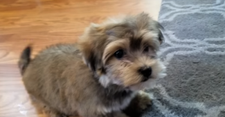 video of an energetic Havanese puppy playing