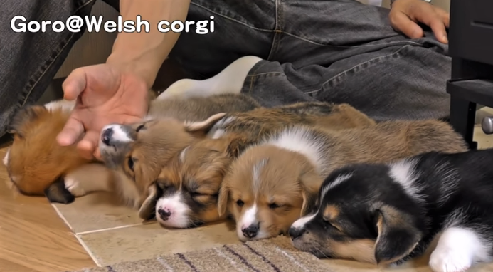 video Corgi puppies wake up easily