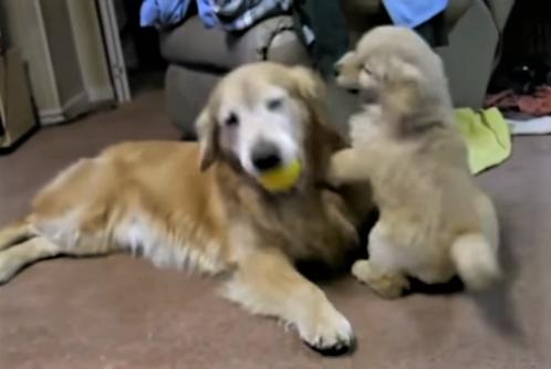 video cute Golden Retriever moments