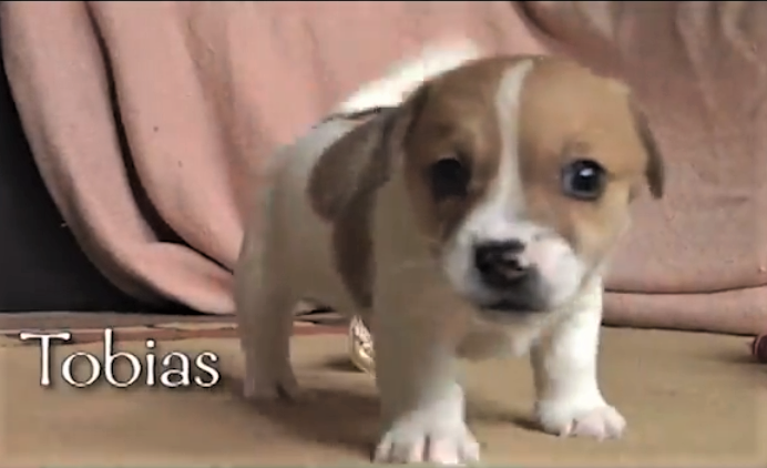 video jack russell puppies