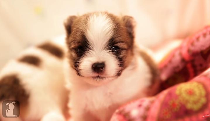 A vocal Pomeranian puppy