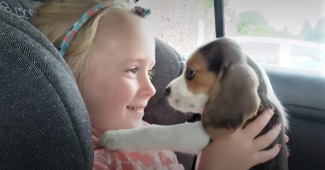 Video Beagle puppy coming home