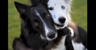 video these border collies like to hug each other