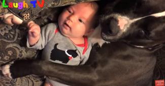 video PitBull dogs adoring babies