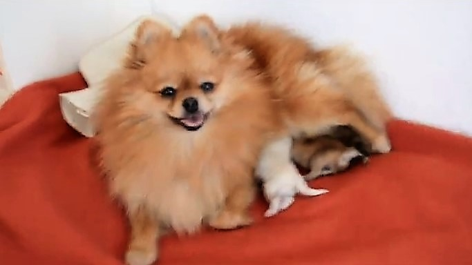 Pomeranian mama caring for her new puppies