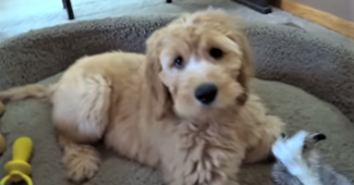 video goldendoodle puppy Bailee