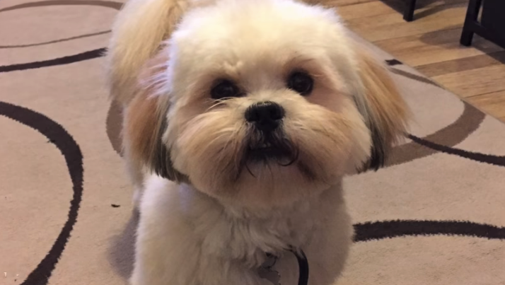 video Lhasa Apso puppy first year home