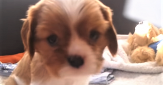 video Cavalier King Charles Spaniel puppies playing