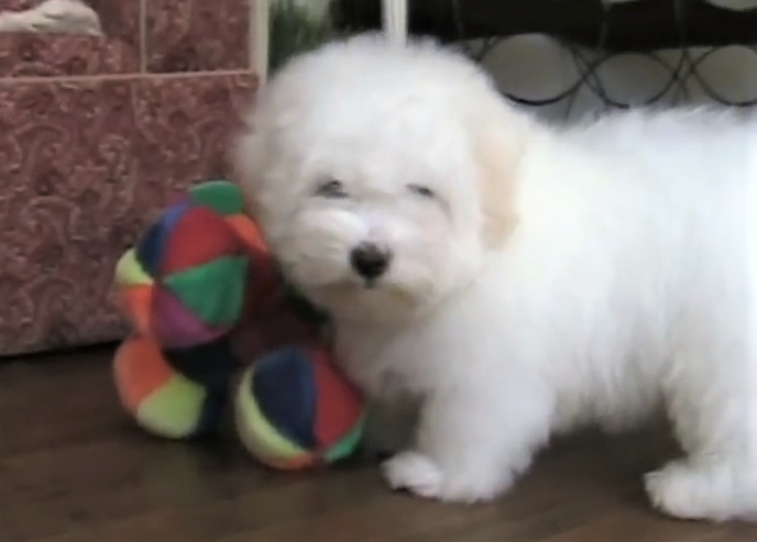 video Coton de Tulear puppy