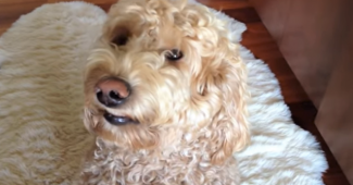 Video Goldendoodle smiling for mommy