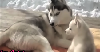video husky puppy playing with mom